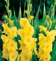 Gladiolus mieczyk yellow frans – 7 szt.