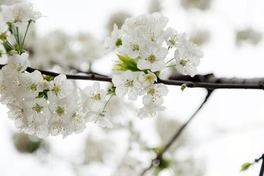 Fototapeta delikatne kwiaty kwitnącej jabłoni fp 697
