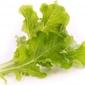 Wkład nasienny lingot warzywa liściowe sałata dębowa