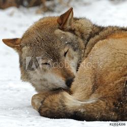 Tapeta ścienna wilk
