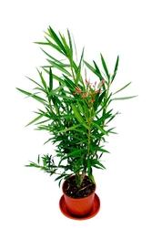 Oleander krzew