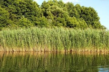 Fototapeta na ścianę trzciny na brzegu jeziora fp 1974
