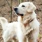 Fototapeta pies golden retriever stojący fp 2764