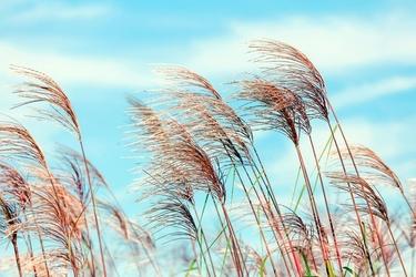 Fototapeta różowe trawy na tle nieba fp 2081