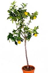 Pomarańcza słodka drzewo