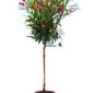 Oleander drzewo