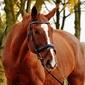 Fototapeta gniady koń w uździe fp 2939