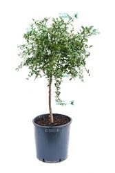 Fingerlime duże drzewo