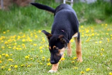 Fototapeta pies wśród mleczy fp 2794