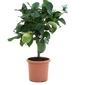 Cytryna florentina małe drzewko