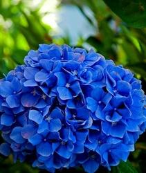Hortensja nikko blue najciemniejsza