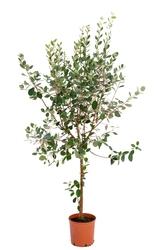 Akka sellowa duże drzewko