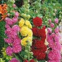 Malwa ogrodowa – mix kolorów –kiepenkerl