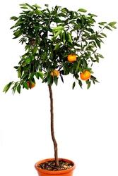 Mandarynka deliciosa drzewo