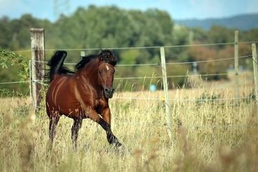 Fototapeta galopujący koń kasztanowaty fp 2680