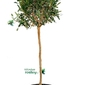 Oliwka europejska drzewo