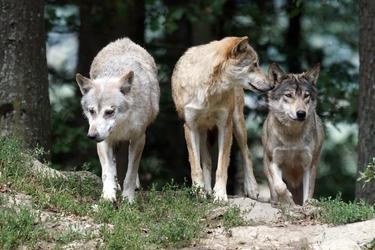 Fototapeta małe stado wilków fp 2610