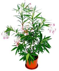 Oleander duży krzew