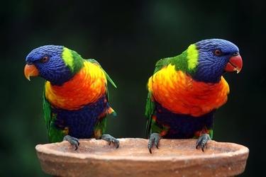 Fototapeta dwie niezwykle kolorowe papugi fp 2947