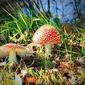 Fototapeta na ścianę czerwone nakrapiane muchomory w trawie fp 810