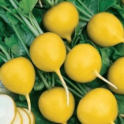 Rzodkiewka zlata – żółta – kiepenkerl