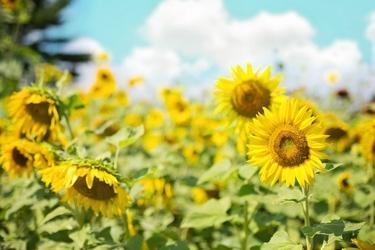 Fototapeta kwiat, słoneczniki 345