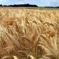 Fototapeta na ścianę dojrzała pszenica fp 1466