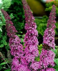 Budleja purple prince długie kwitnięcie