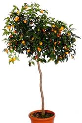 Kumkwat margarita drzewo