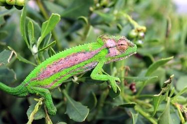 Fototapeta na ścianę kameleon na krzewach fp 2585