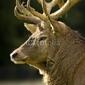 Tapeta ścienna jeleń