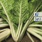 Burak liściowy lucullus – boćwina – kiepenkerl