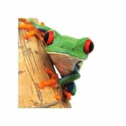 Żabka - zbliżenie - reprodukcja