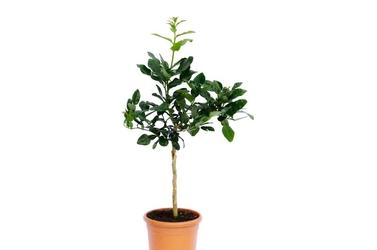 Lima kaffir drzewko