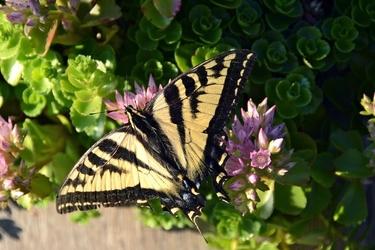 Fototapeta motyl z rozłożonymi skrzydłami fp 2800