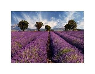 Lavender field in provence, france - reprodukcja