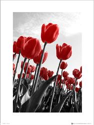 Czerwone Tulipany - plakat premium