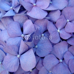 Naklejka samoprzylepna makro kwiat hortensia
