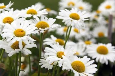 Fototapeta białe kwiaty z zółtymi środkami fp 297