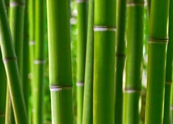 Bambusy - fototapeta