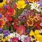 Dzikie kwiaty polne – mix nasion – kiepenkerl