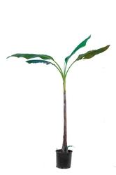 Bananowiec musa basjoo duże drzewo
