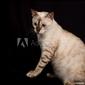 Naklejka samoprzylepna biały kot bengalski na białym tle