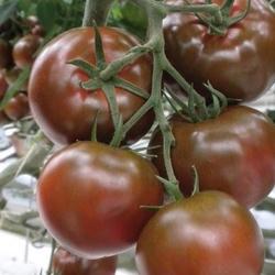 Pomidor sałatkowy sacher f1 – ciemny –kiepenkerl