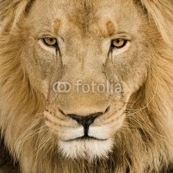 Fotoboard na płycie zbliżenie na głowę lwa 4 i pół roku - panthera leo
