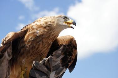 Fototapeta orzeł obserwujący swoje terytorium fp 2542