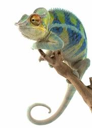 Leniwy Kameleon - fototapeta