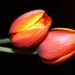 Fototapeta na ścianę dwa tulipany na czarnym tle fp 336