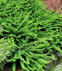 Berberys green carpet wyjątkowy