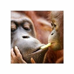 Orangutany - reprodukcja